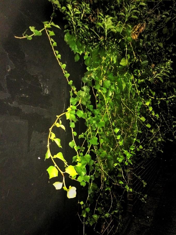 Ivy Night