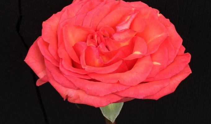A Rose onBlack